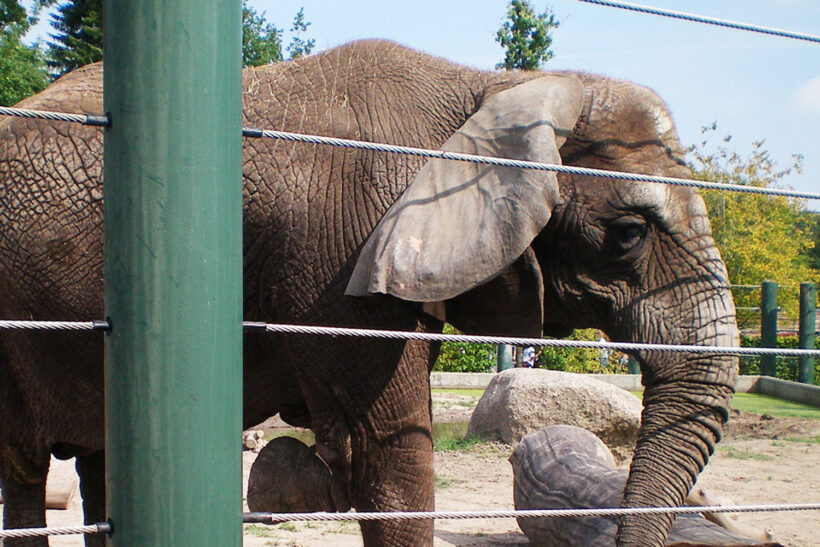 Zoo - elefant